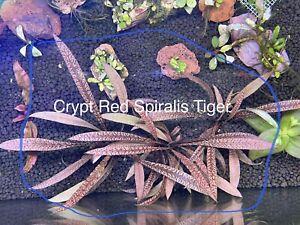 Crypt Red Spiralis Tiger - Rare Aquarium Plant