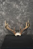 SKU 1448 Whitetail Deer Taxidermy skull cap antlers
