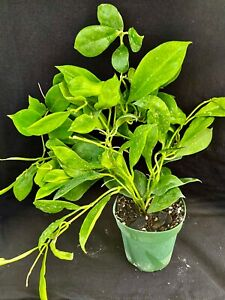 Hoya obscura, wax plant