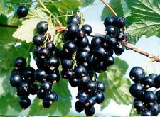 Black Currant Seeds -50 seeds - Cold Stratified
