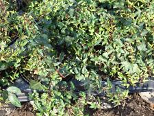 Halbschatten-Strauchpflanzen für gemäßigtes Klima (7 bis -12 ° C) -18