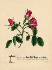 Rose Rosa King Richard III. Lithographie altkoloriert ca. 1840