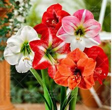 Lot of 6 Amaryllis of different colors 28/30 centimeters each