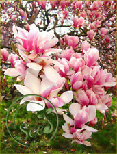 Magnolia Liliiflor Shrub Seeds Flowers Bonsai Tree Home Garden Plant 10Pcs Pink