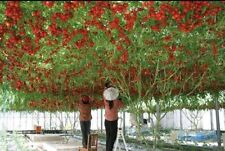 ITALIAN TREE TOMATO 'Trip L Crop'Rare Seeds-20 Seeds,Lowest Price,free shipping