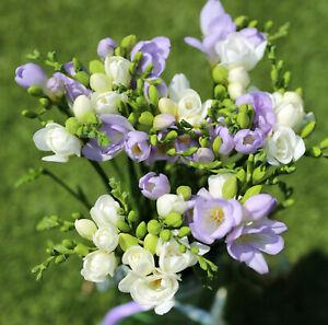 20x Freesia BLUE & WHITE Mix Bulbs Spring Summer Flowering Fragrant Cutflowers