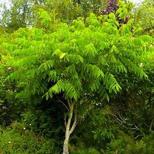 Manchurian Walnut (Juglans mandshurica ) 5 seeds