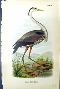 Original Old Antique Print Great Blue Heron Birds Warren Colour 1890 Victorian