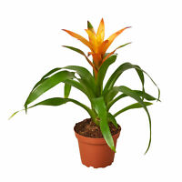 "Guzmania Bromeliad 'Orange' - 4"" Pot"