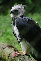 Framed Print - Harpy Eagle - The World's Largest Eagle (Bird Animal Picture Art)