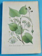 1893 Ancienne Lithographie Tilleul Silvestre Gaston Bonnier Botanique