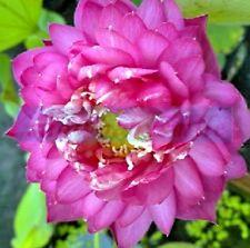 5 Polyphyll Red Lotus Seeds - Nelumbo Nucifera