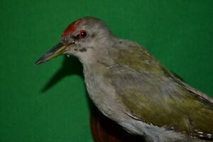 Taxidermy Woodpecker Bird Stuffed animal Mount Picus canus Colored Bird