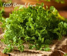 CHERVIL WINTER, 100+ Seeds, HEIRLOOM, Garden, Vegetable, Easy to grow