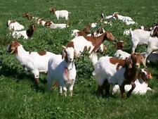 Goat Husbandry Meat Goats 30 Books CDROM Livestock Dairy Boer Production Feeds