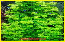 PLANTA DE ACUARIO .Ambulia. limnophila sessiliflora.Pecera.