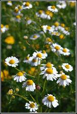 Echte Kamille - 1500 Samen - Matricaria recutita -  Tee und Heilpflanze 1.500