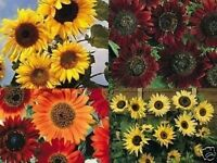 SIZZLING SUMMER SUNFLOWER COLLECTION 4 SUPER VARIETIES IN ONE DEAL  BARGAIN !!!