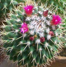 MAMMILLARIA TOLUCA CACTUS spring bright crimson flowers plant in 70mm pot