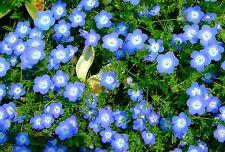 50 Samen Liebeshainblume Bodendecker Nemophila menziesii Steingarten