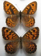 Lasiommata megera pair from Poland - (mounted)