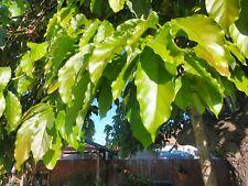 100 Fresh Organic Avocado Leaves.. For Tea Making..