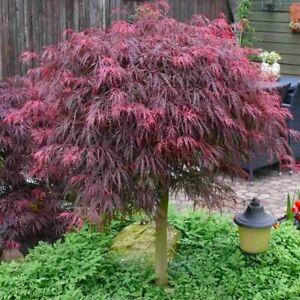 Japanese Maple Tree Filigree Weeping Purple Acer dissectum Garnet 100cm tall 7L