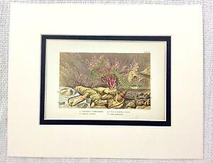 1855 Antique Print Sea Creatures Ocean Coral Seashells Seaweed Marine Life Art