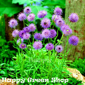 Sheep's Bit Scabious Purple Lights 600 seeds - Jasione laevis - Perennial Flower