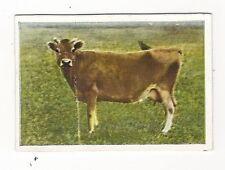 22/527 SAMMELBILD KUH MILCHKUH GOLDBRAUN KLEINE RASSE - JERSEY-CO.