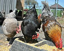 10++ APA Black Copper, Blue, Splash Marans Hatching Eggs Davis/Howington/Jeane