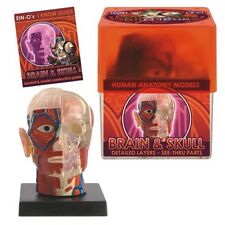 BioSigns BRAIN & SKULL Kit #2370 TEDCO TOYS ~Detailed MODEL BOX KIT