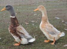 8+ Saxony Duck Eggs