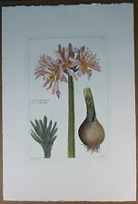"Hand Colored Print ""Pancratium Illyieum Linn Narcisse d'Illyrie liliaee"" PL X"