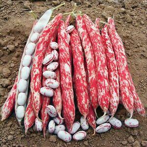 Fire Bean - Borlotto Ligue di Fuoco - 5+ seeds - Semillas - Graines - Samen