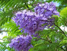 25  Jacaranda mimosifolia Semillas Flamboyan azul.Jacaranda azul blue