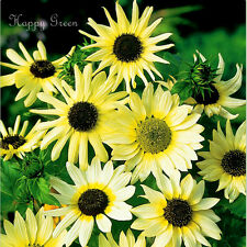 BEACH SUNFLOWER - VANILLA ICE - 60 SEEDS - Helianthus debilis - CUCUMBERLEAF