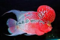 (1) Red Dragon Flowerhorn cichlids 3.0-3.5 inch Live Fish Fully Guaranteed