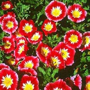 Morning Glory Ensign -Red (Convolvulus Tricolor Minor)- 50 seeds