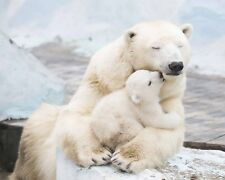 Polar Bears / Polar Bear Cub 8 x 10 / 8x10 GLOSSY Photo Picture IMAGE #5