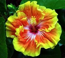 **TAHITIAN SUNSET SPLENDOR** Rooted Tropical Hibiscus Plant**Ships In Pot**