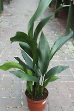 Indoor Plant - Aspidistra Elatior - Cast Iron Plant - Approx 30cms Tall