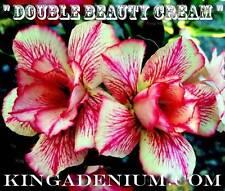 "ADENIUM OBESUM DESERT ROSE "" DOUBLE BEAUTY CREAM "" 20 SEEDS NEW EASY BLOOM"