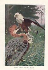 c1914 NATURAL HISTORY PRINT ~ GIANT HERON & SEA EAGLE ~ LYDEKKER