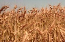 Soft Red Winter Wheat Non-GMO Cereal Grain Garden Crop - ½ Ounce (~450 Seeds)