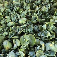 Mother Of Thousands  |  Kalanchoe daigremontiana |  10 Little Succulent Offsets