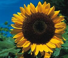 Sunflower - GIANT Yellow 3 metre plus - 40 seeds