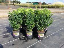 Buchsbäume mit Strauchpflanzen mit mittlerem/Strauch-Busch