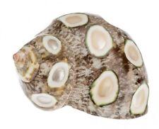 NaDeco® Turbo petholatus 5cm spotted | Gepunktete Turbo petholatus | Gobelin Tur