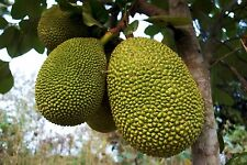 Jackfruit (black gold) Tropical Fruit Trees